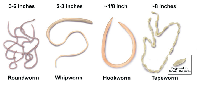 Live-worms-in-dog-poop-after-deworming