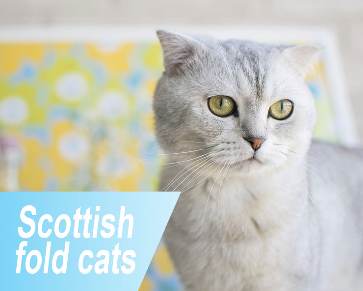 Scottish-fold-cats
