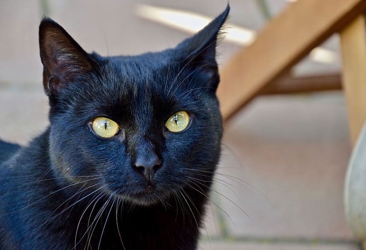 Bombay-cat-1