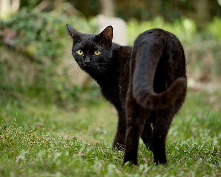 Bombay-cat