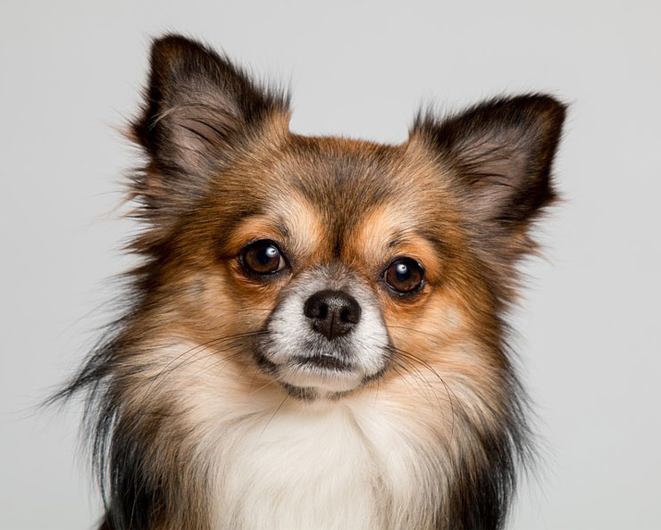 Long-haired-chihuahua