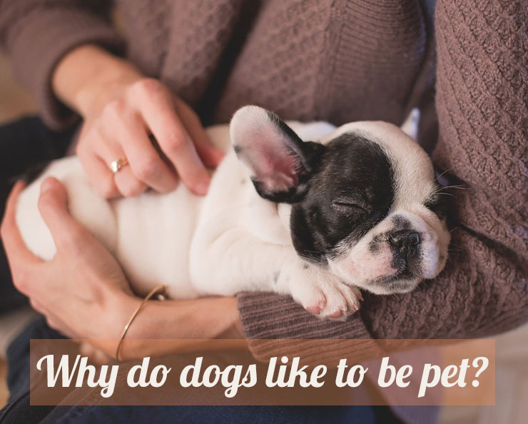 Why-do-dogs-like-to-be-pet