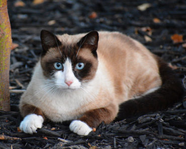Snowshoe-cat
