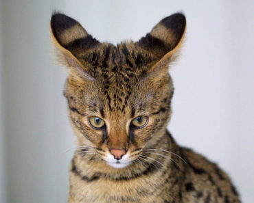 Savannah-cat