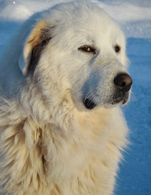 Great-pyrenees-dog