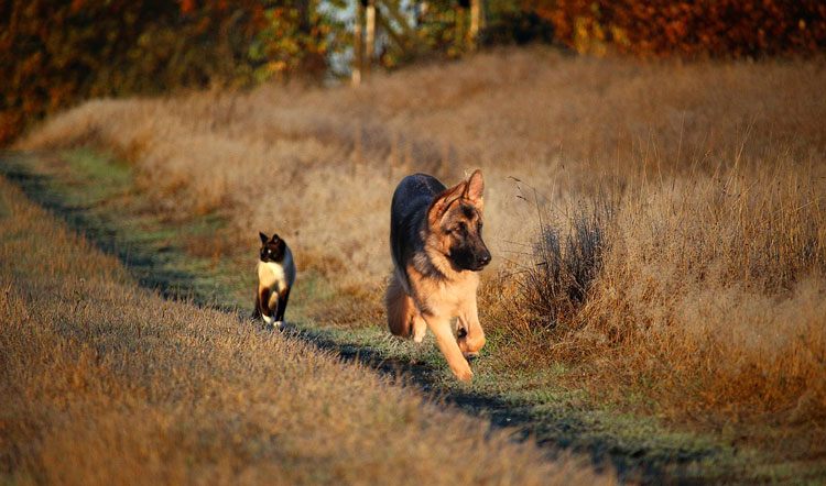 Are-german-shepherds-good-with-cats-1
