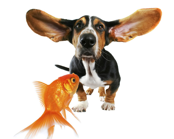 The aggressive American Boston Terrier Can-Dogs-Eat-Goldfish