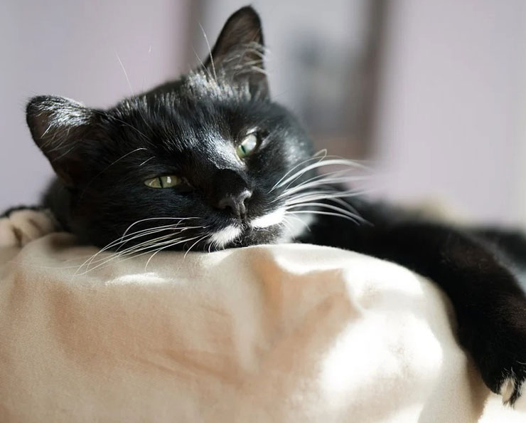 Symptoms-of-fever-in-cats